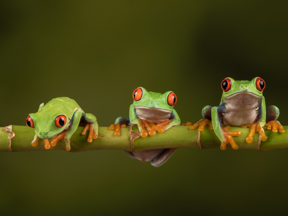 Tree frogs in a row