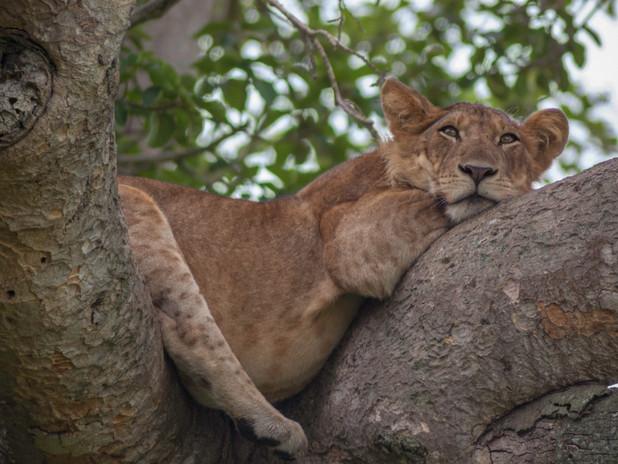 Resting lion, Queen Elizabeth National Park, Uganda