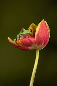 Tree frog perching on a flower_.jpg