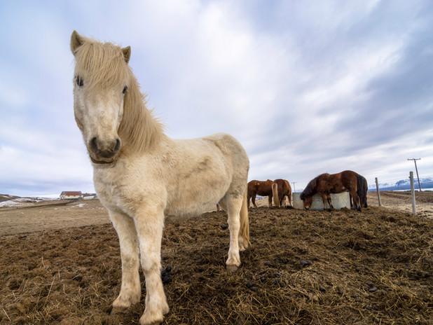 Curious Icelandic ponies