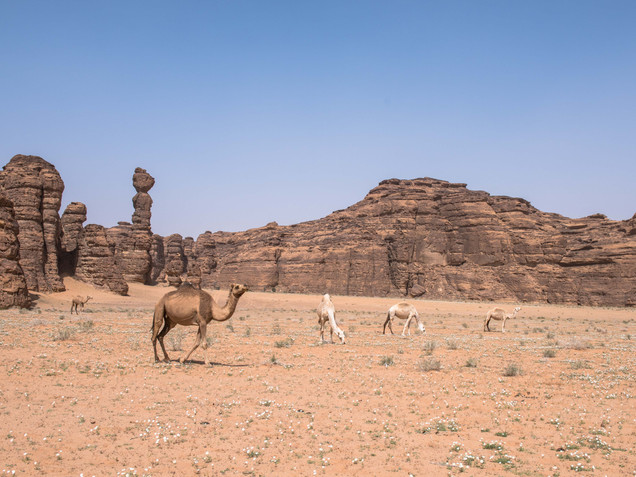 Camels at Sharaan Nature Reserve in AlUla