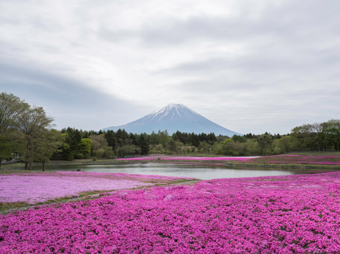 The pink moss of Fuji Shibazakura Festival in Japan