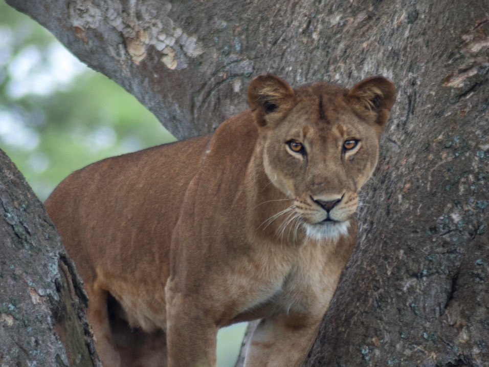 Tree-climbing lion in Queen Elizabeth National Park, Uganda