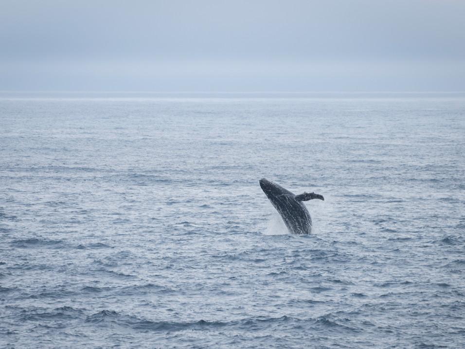 Breaching Humpback Whale in Antarctica