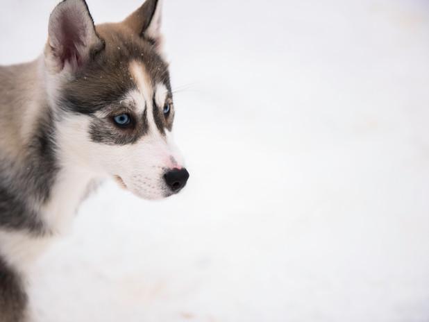 Blue-eyed husky pup