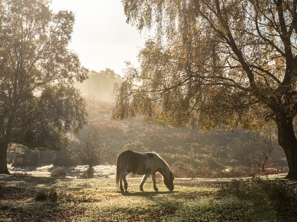 New Forest pony at sunrise
