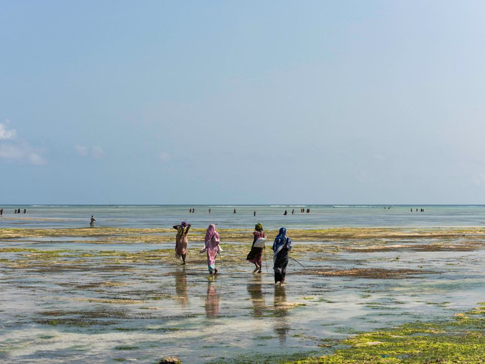 Women collect seaweed from the ocean in Tanzania