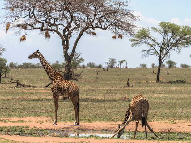 Giraffes drinking at a water hole