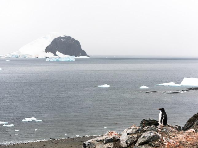 Gentoo Penguin guarding the shoreline