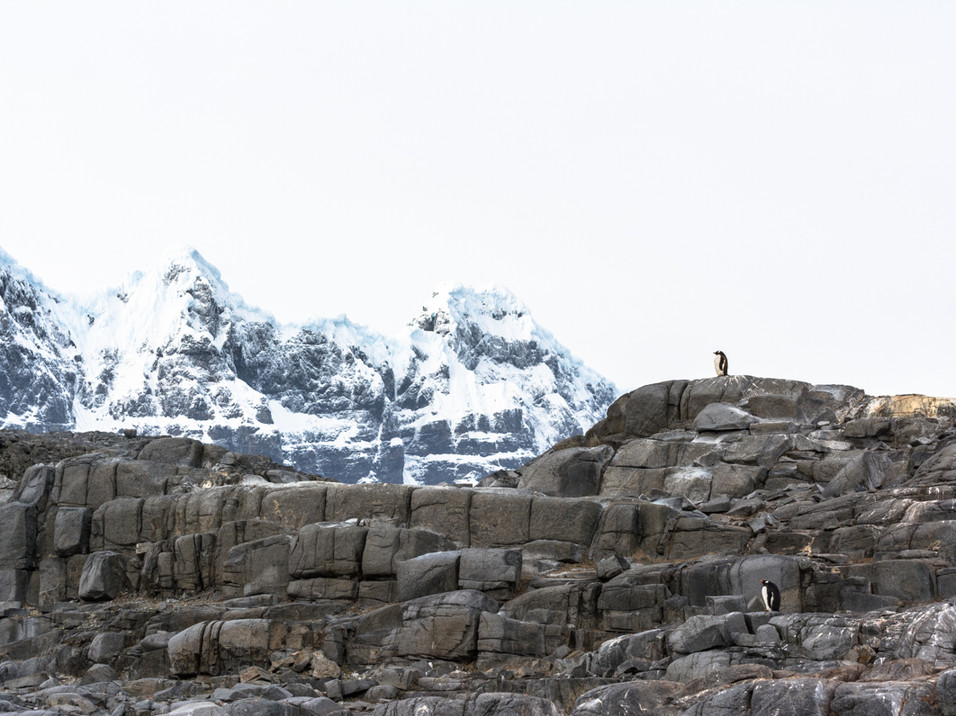 Gentoo Penguin admiring the scenery