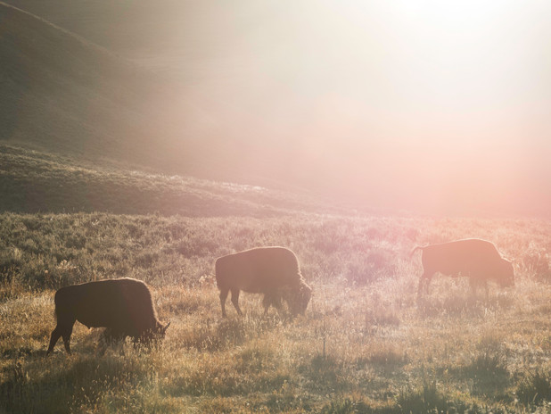Bison at sunrise in Yellowstone National Park