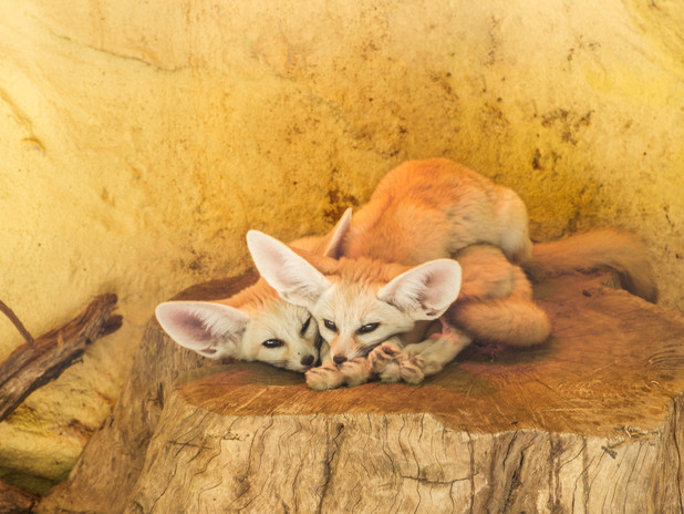 Beautiful fennec foxes