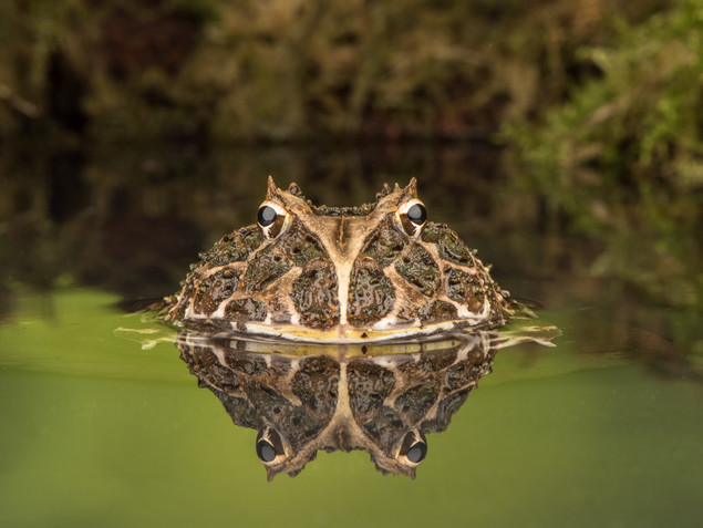 Reflections of a large frog in water
