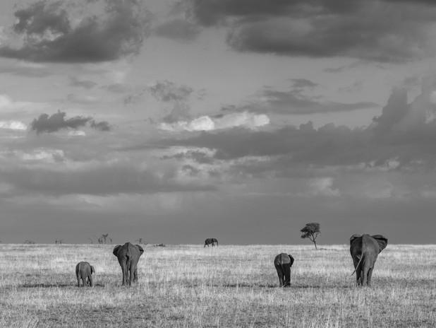 Elephant symmetry, Tanzania