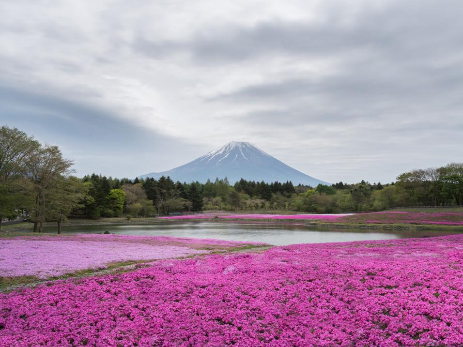 The pink moss of Fuji Shibazakura Festival, Japan