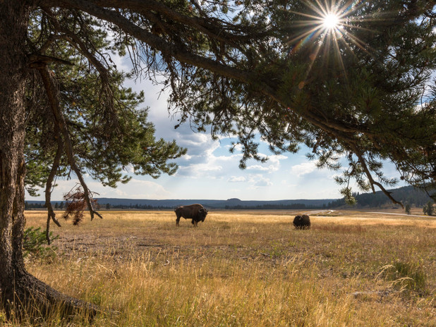Resting bison in Yellowstone National Park