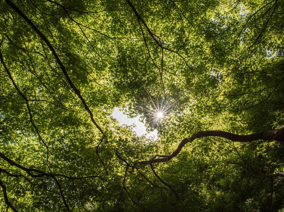 Sunburst through tree leaves in Japan