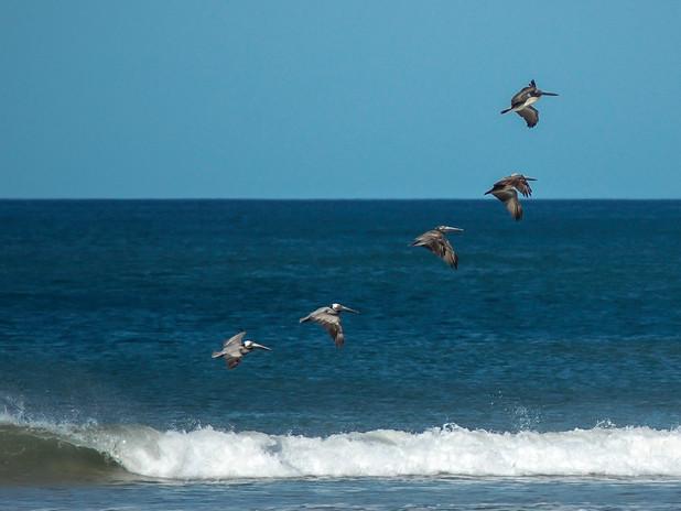 Pelicans in formation, Costa Rica