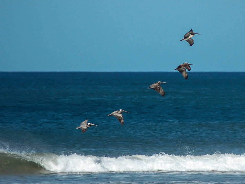 Pelicans in formation, Costa Rica