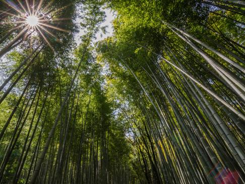 Arashiama bamboo forest, Japan