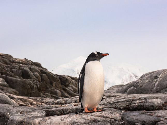 Gentoo Penguin posing, Antarctica