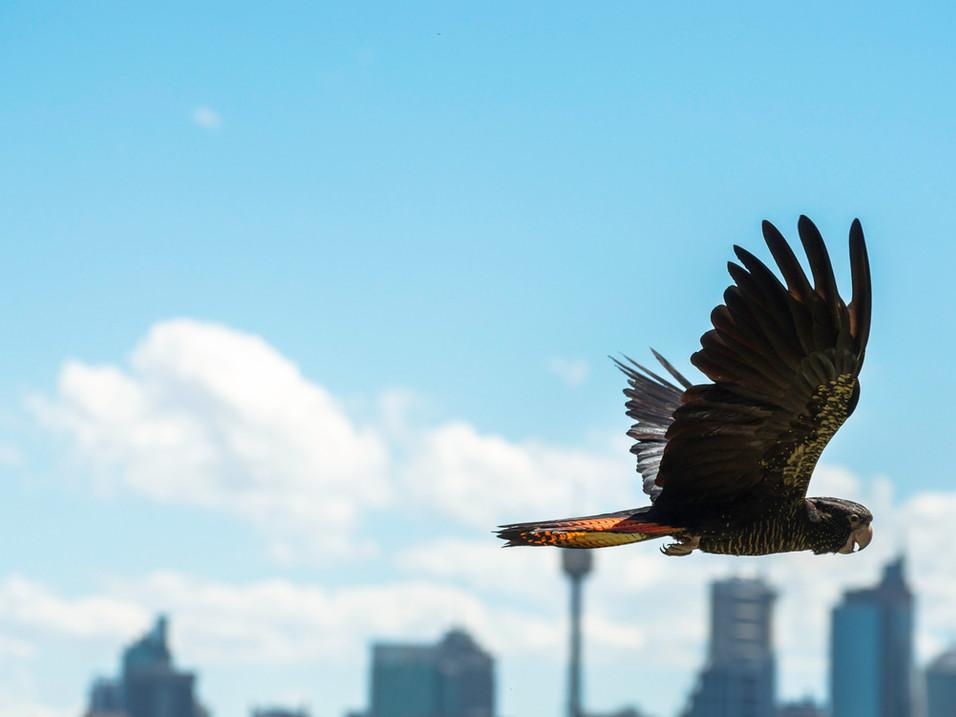 Soaring above Sydney