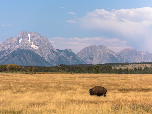A lone bison in Yellowstone National Par
