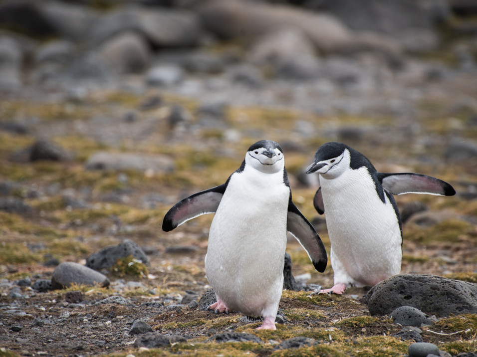 Chin-strap Penguins trying to walk across bumpy ground