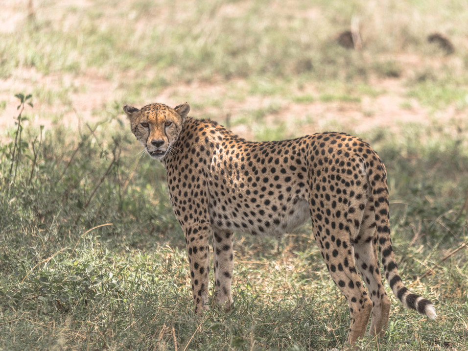 Watched by a cheetah