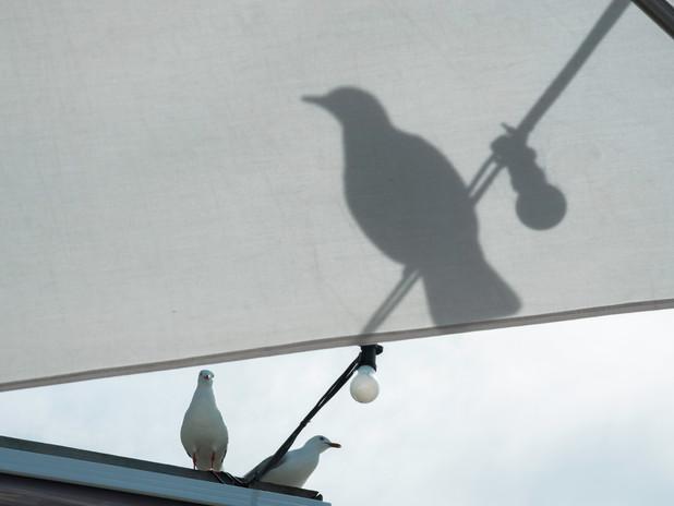 Seagulls of Sydney, Australia