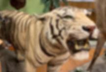 Tiger_edited_edited.jpg