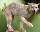 Lynx2_edited.jpg