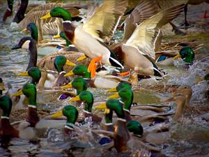 2019-03 Duck Splash.jpg