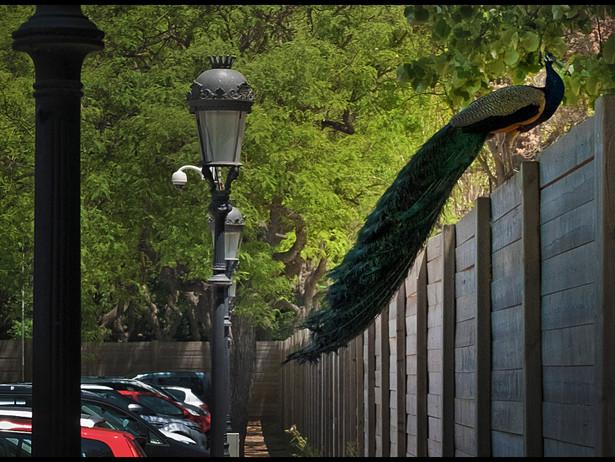 2016-06 Peacocke (Barcelona).jpg