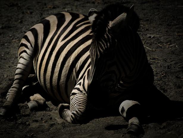 2015-04 Zebra.jpg