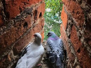 2017-06 Pigeons.jpg