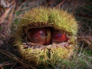2014-10 Chestnuts 1.jpg