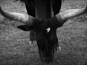 2014-08 Bull Horns BW.jpg