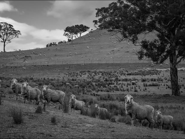 2014-07 Namadgi Sheep (Near Camnberra) B