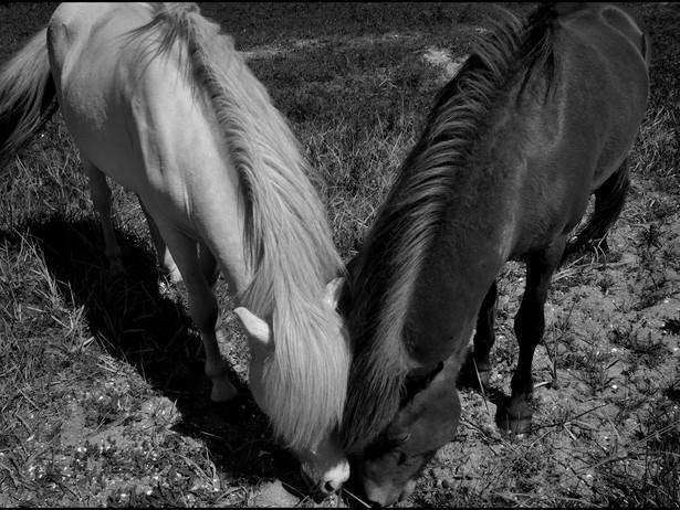 2011-06 Two Horses - Vijlefjord BW.jpg