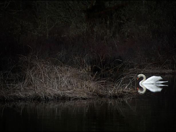 2016-05 Cape Cod Swan.jpg