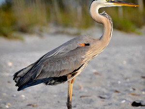 2012-04 Heron.jpg