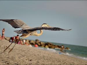 2012-04 Heron in Flight.jpg