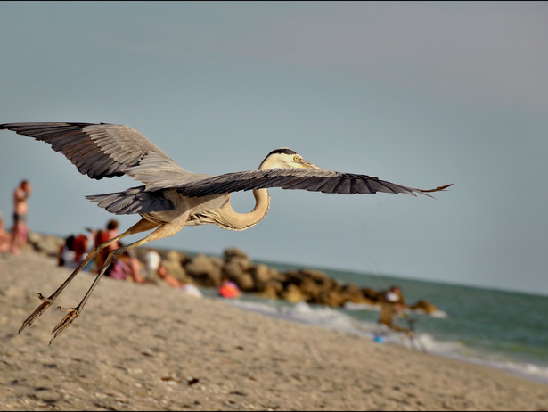 2012-04 Heron in Flight.jpg