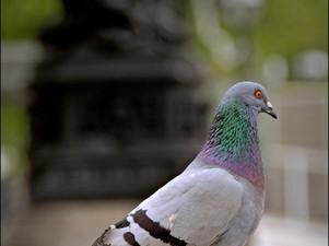 2012-06 Pigeon.jpg