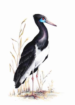 Abdim's Stork, watercolour painting, size 30x40cm | Bocian białobrzuchy, obraz akwarela w rozmiarze 30x40cm
