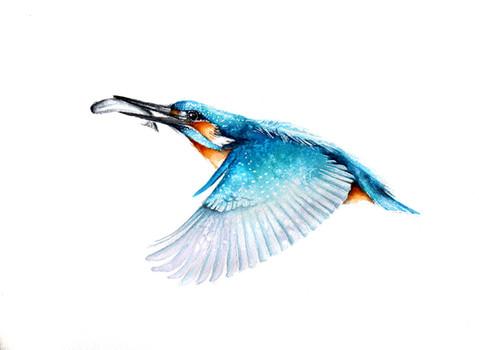 Kingfisher | Zimorodek  02