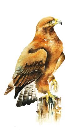 Golden Eagle, watercolour painting, size 37x52cm