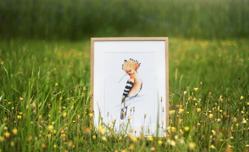 Framed watercolour hoopoe on meadow
