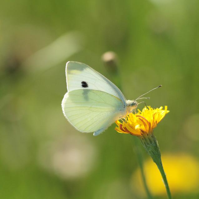 Motyl bielinek